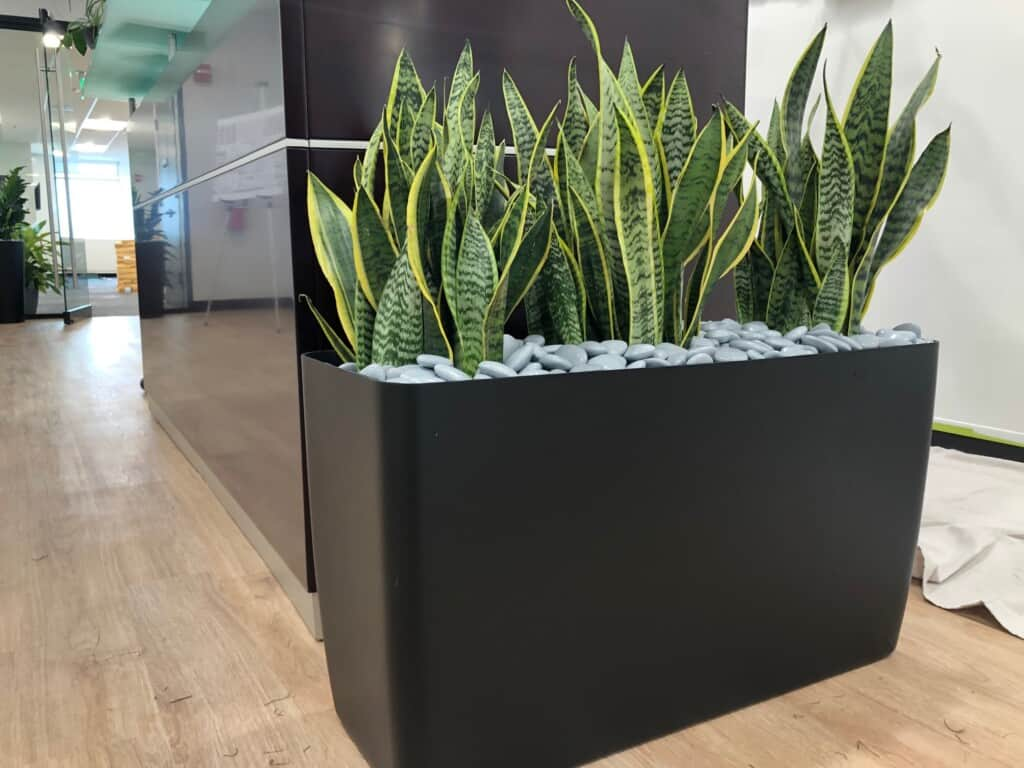 beautiful floor rectrangle office planter with snake plants in newton