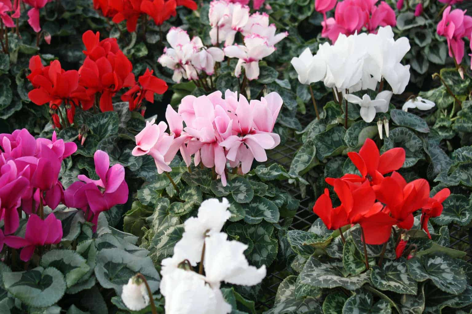 Dedham MA Cyclamen Plants
