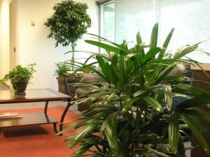 rhapis palm and ficus tree in Taunton MA office