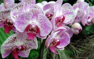 Moth orchids - Orchids