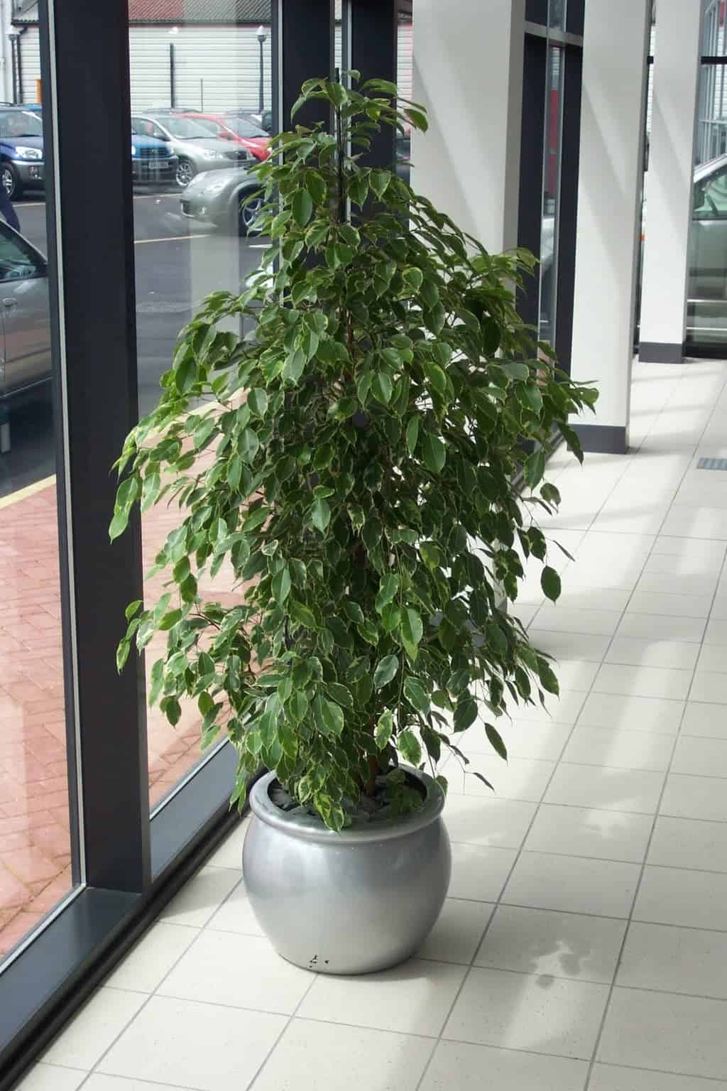 Fig tree in car dealership in Auburn MA