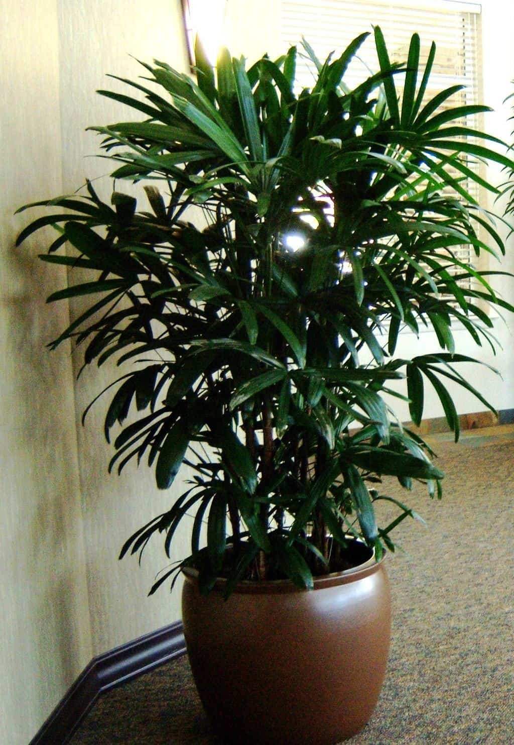 Rhapis palm floor plant in company in Burlington MA