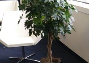Chinese sweet plum - Dwarf umbrella tree in Framingham office