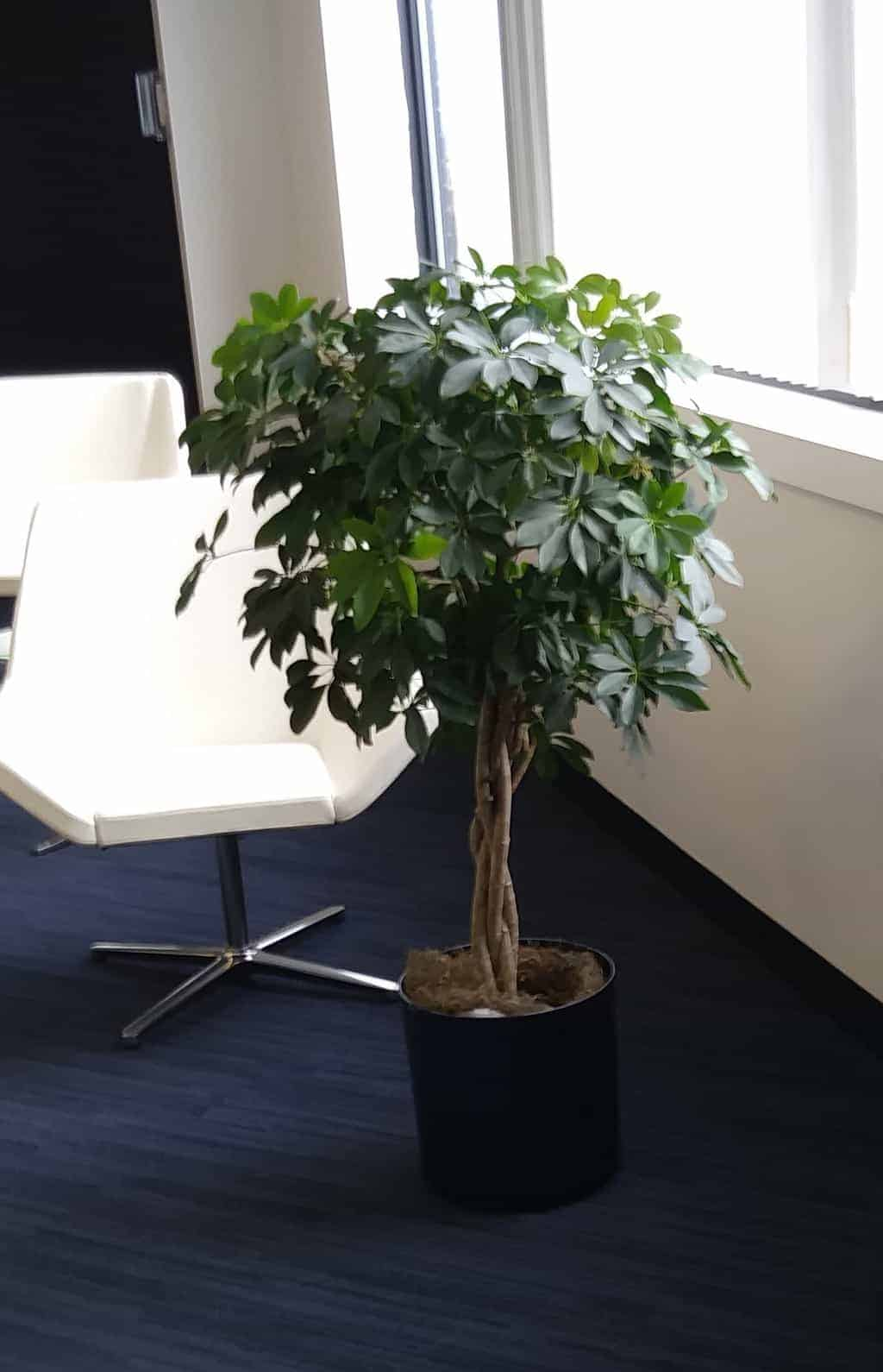 Burlington Ma Office Plant Trees In Offices
