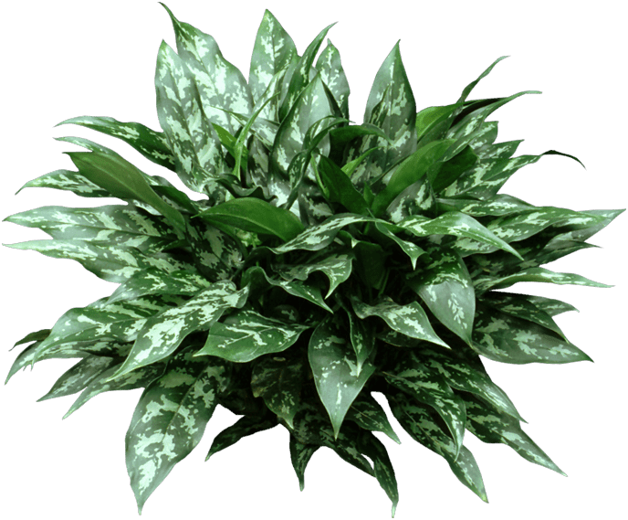 Dracaena fragrans - Plants
