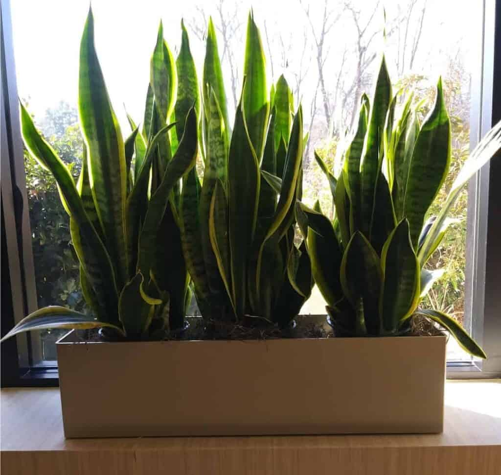 a series of snake plants in a rectangle planter in Needham MA