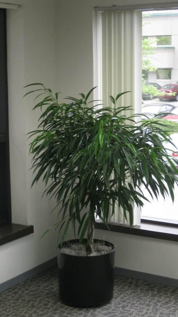 ficus tree in corner in massachusetts company