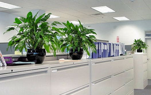 a grouping of office plants on tops of cabinets in wilmington massachusetts