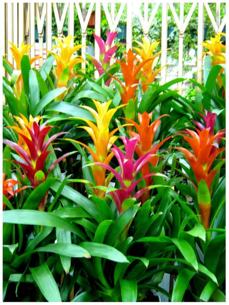Bromeliads - Lobster-claws