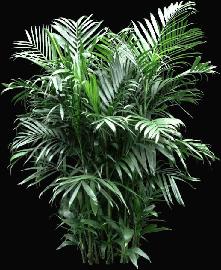 Chamaedorea elegans - Houseplant