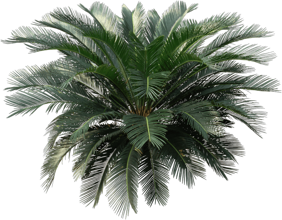 Sago palm - Palm trees