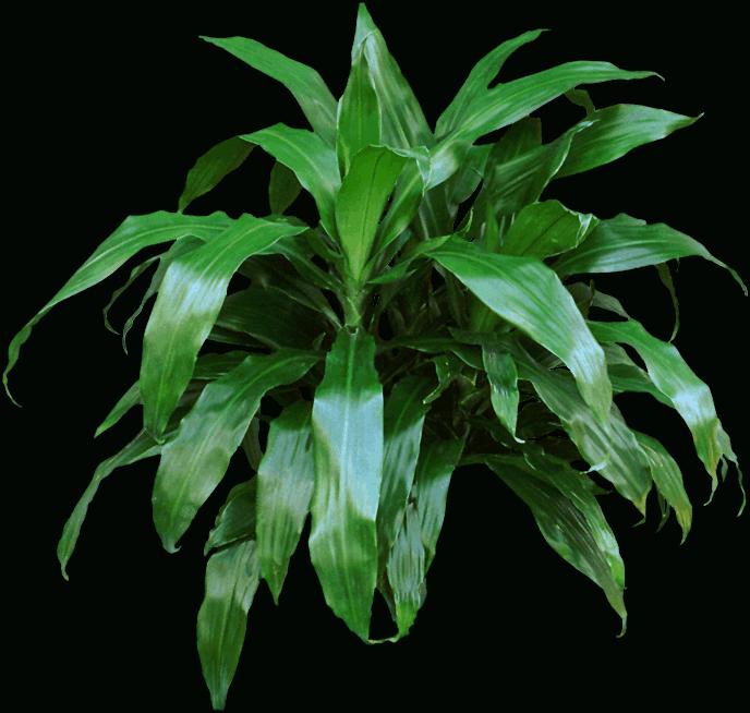 Dracaena fragrans - Dracaena reflexa