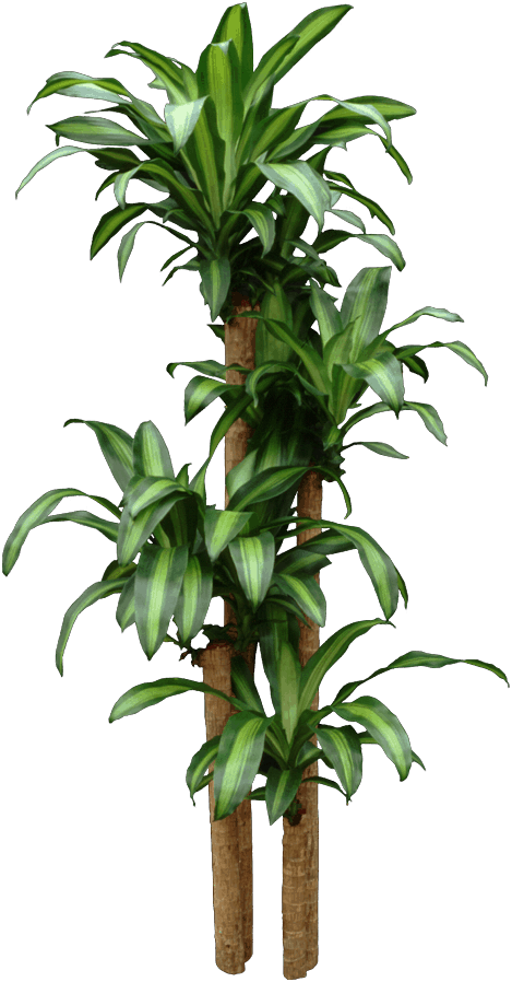 Dracaena fragrans - Sago palm