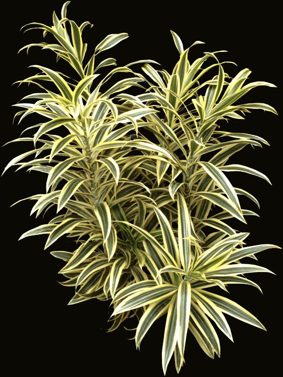 Tree - Dracaena reflexa