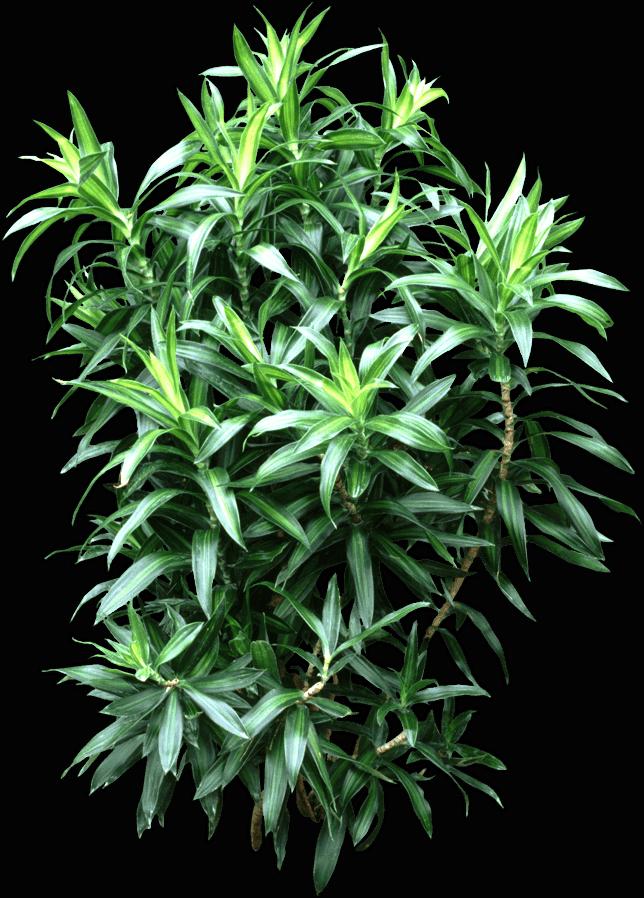 Leaf - Dracaena reflexa