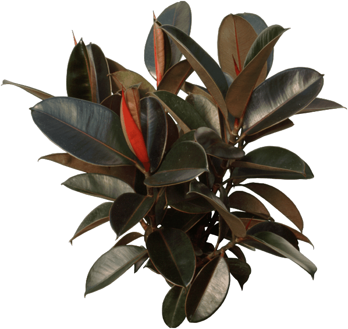 Leaf - Rubber fig