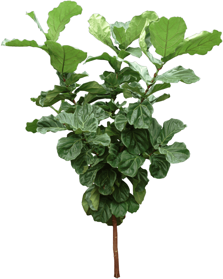 Plants - Fiddle-leaf fig