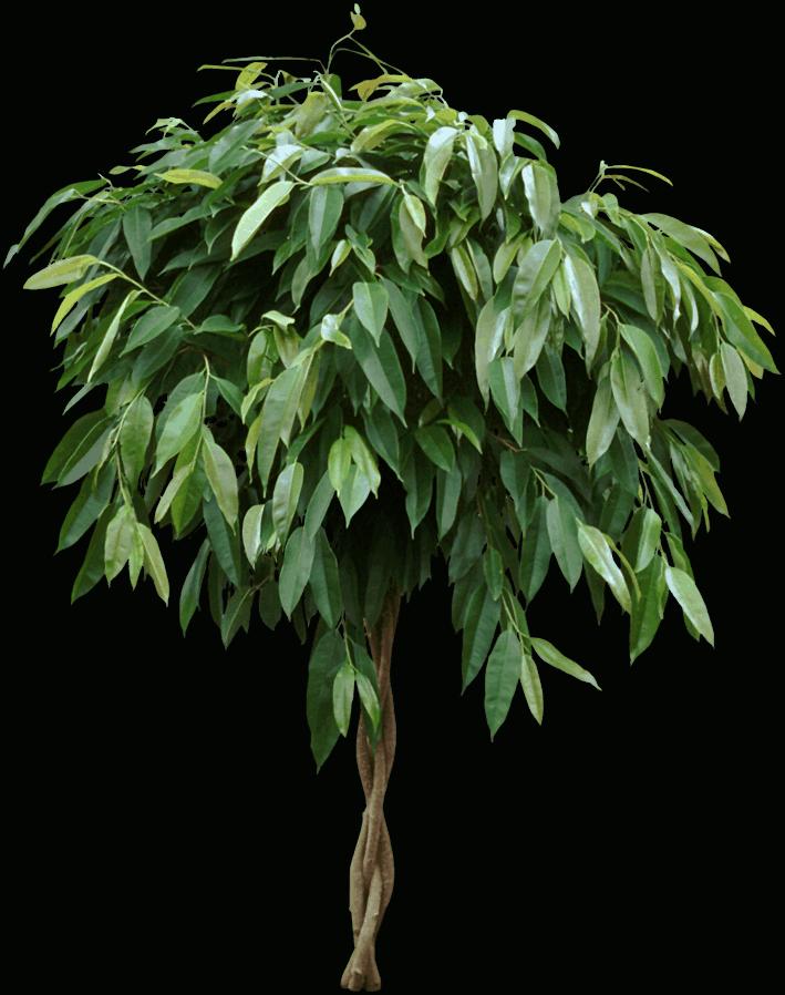 Ficus maclellandii - Plants