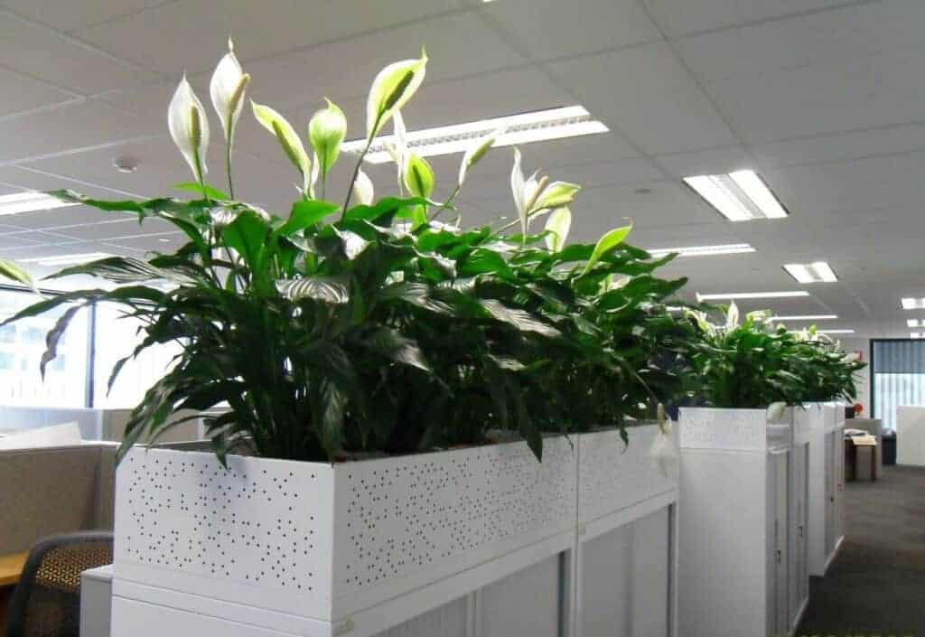a series of snake plants in rectangle planters