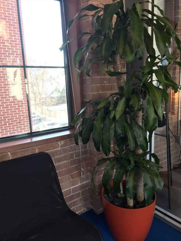 tall mass cane plant beside window massachusetts