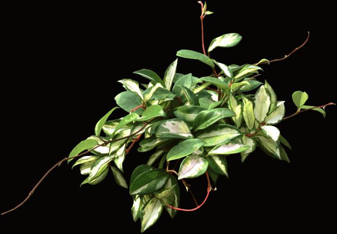 Hoya carnosa - Plants