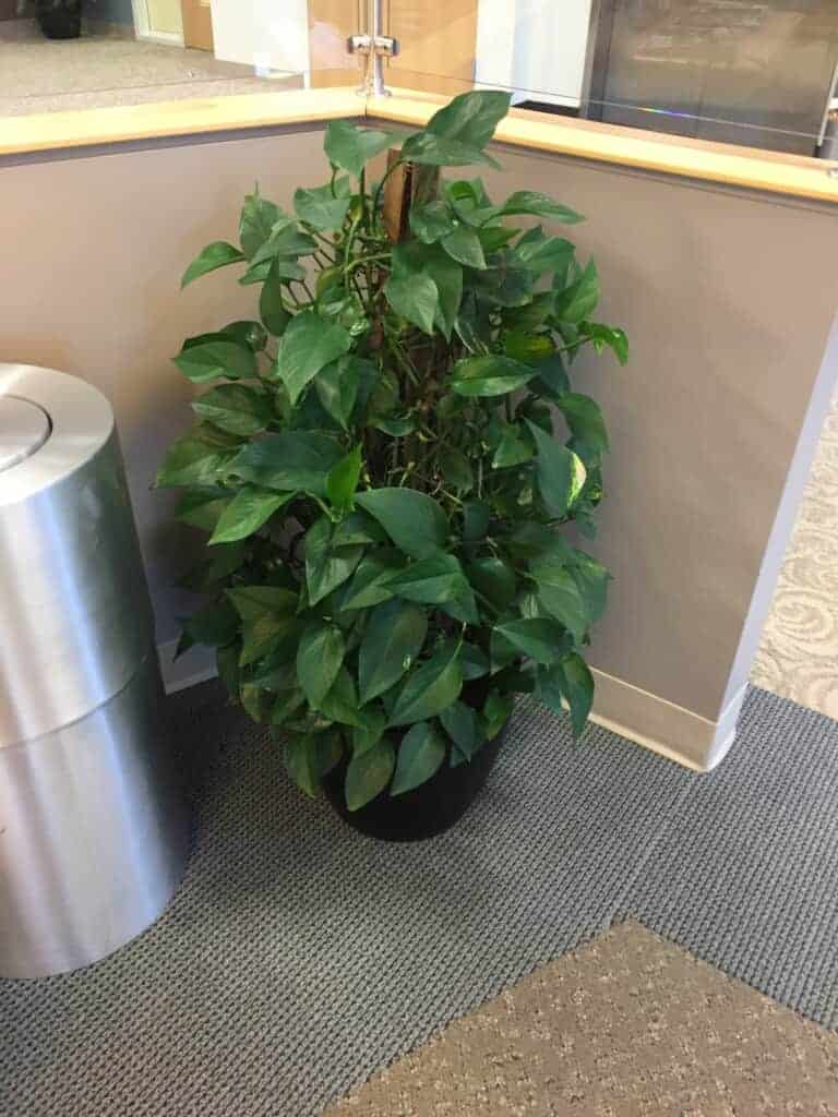 Pothos totem in a facility in Watertown, MA