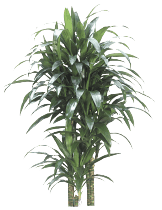 Dracaena fragrans - Houseplant