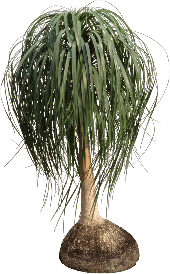 Ponytail palm - Palm trees