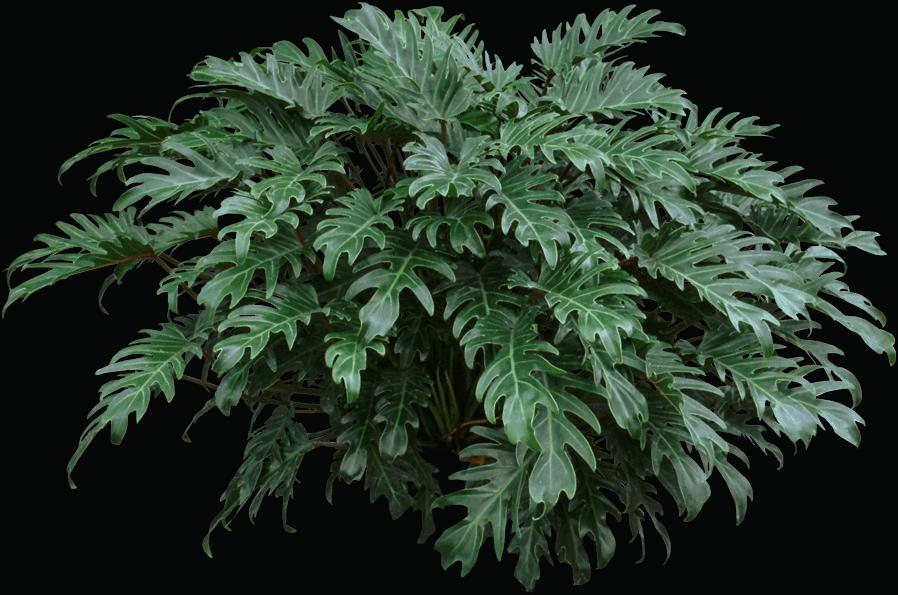 Leaf - Philodendron xanadu