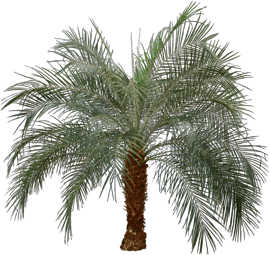 Pygmy date palm - Palm trees