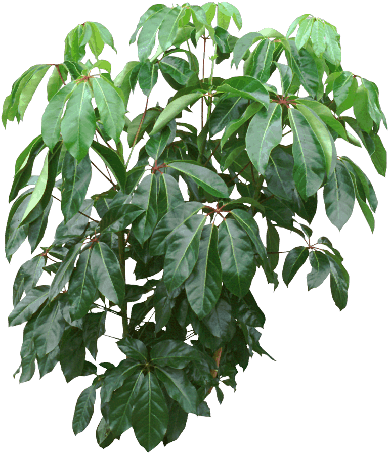 Australia umbrella tree - Dwarf umbrella tree