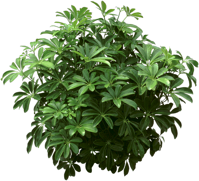 Dwarf umbrella tree - Plants