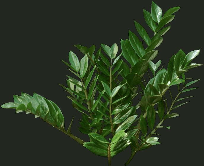 Zamioculcas zamiifolia - Swiss cheese plant