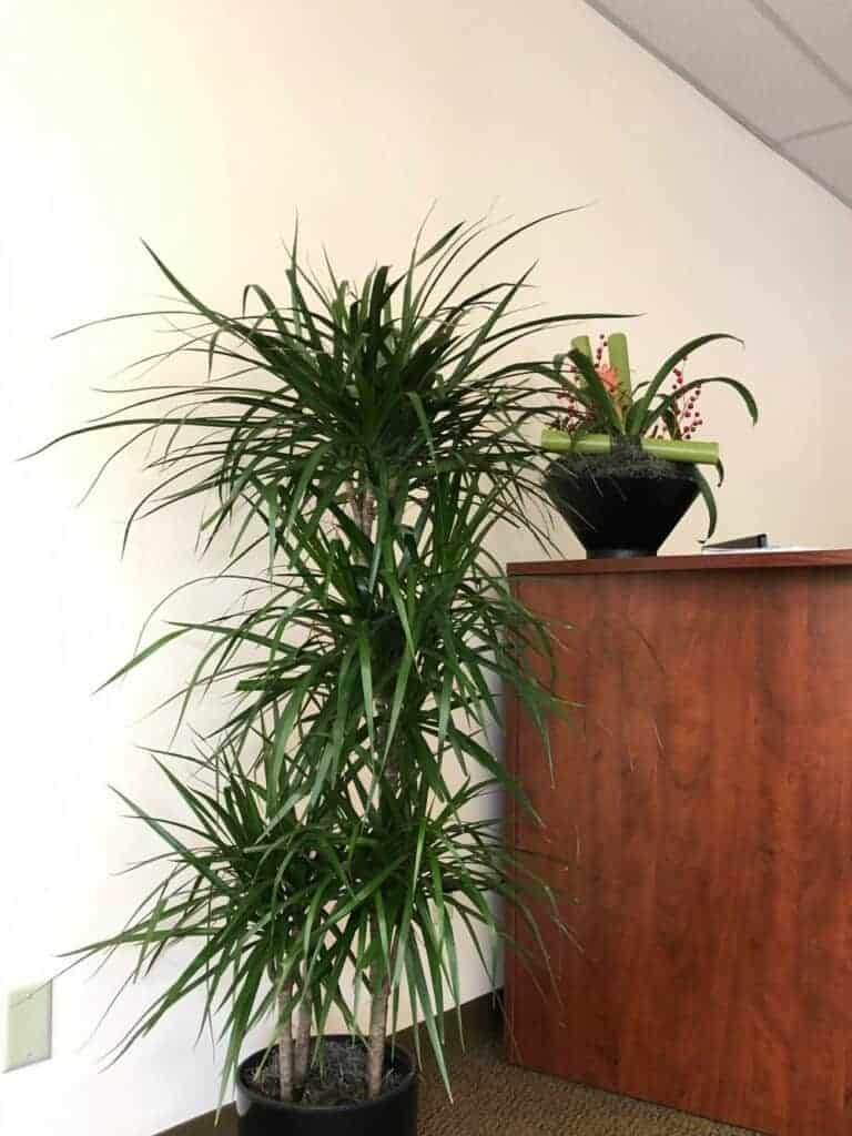 an office in massachusetts with a marginata plant