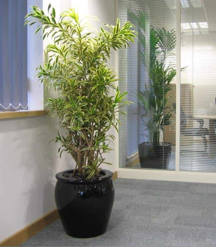 A draceana reflexa song of india plant in an office in massachusetts