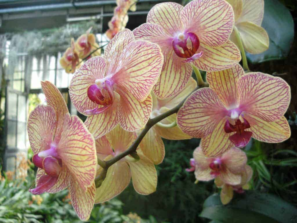 Moth orchids - Orchids