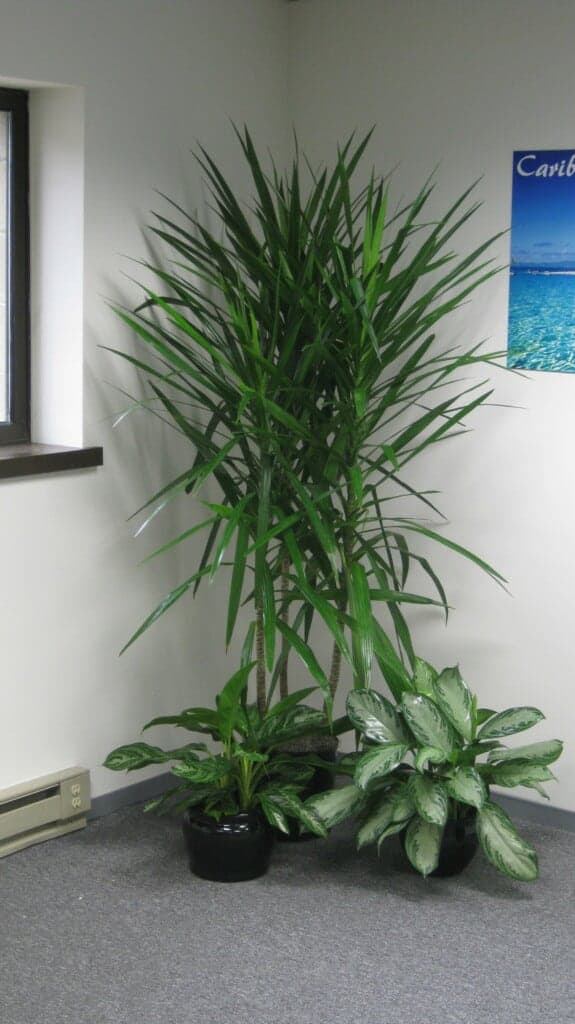 an office in massachusetts with a bamboo palm