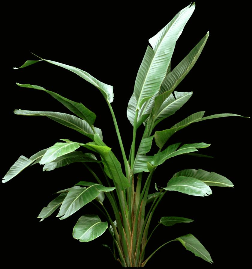 Strelitzia nicolai - Bird of paradise flower