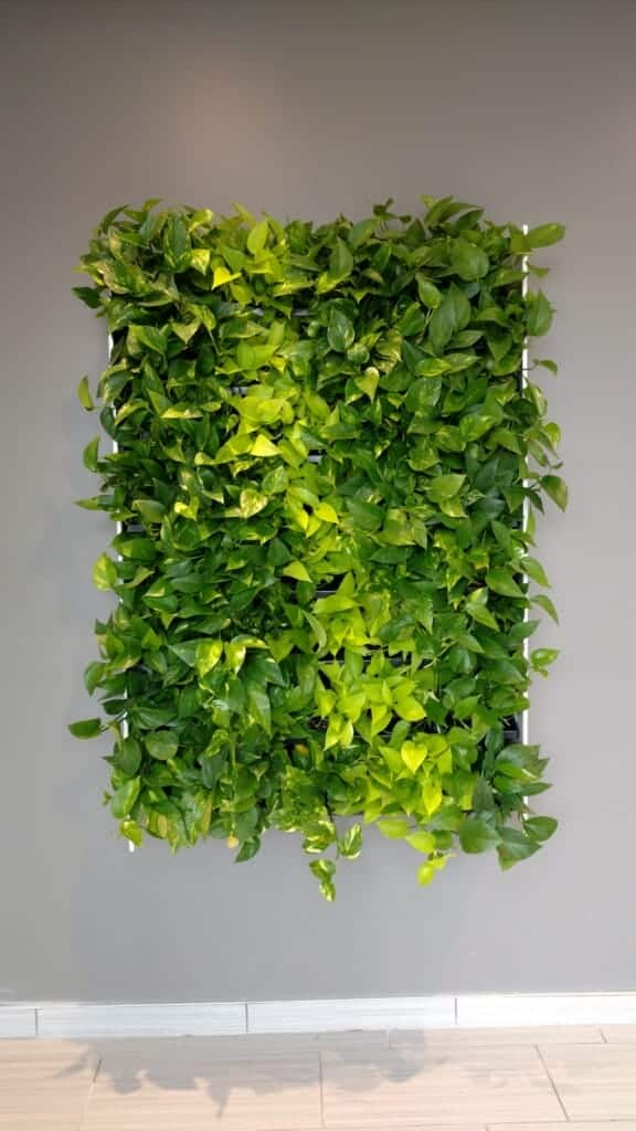 Devil's ivy - Live Plant Wall