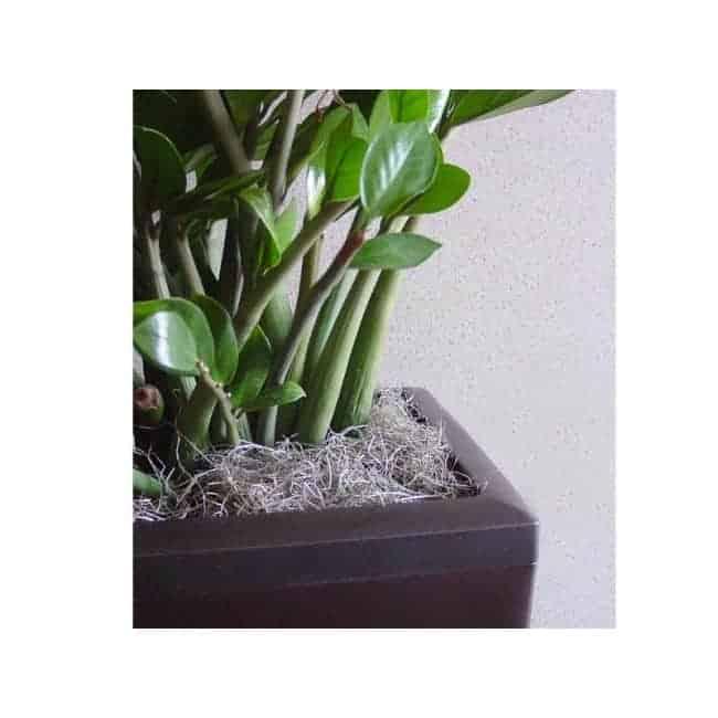 Plants - ZZ plant