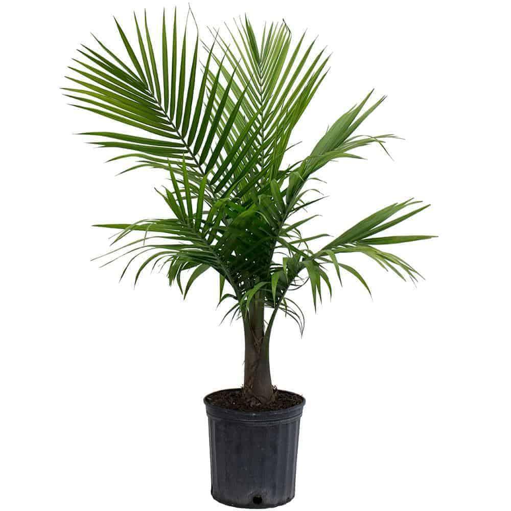 Majestic palm - Houseplant