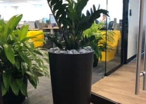tall zz plant in planter in a taunton ma office
