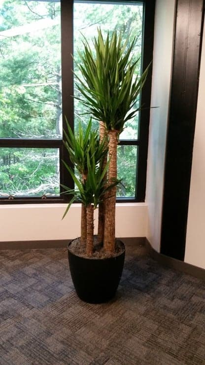 yucca cane plant in an office in methuen ma