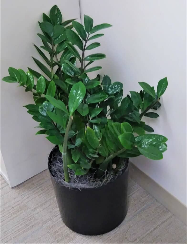 zz plants free office plant consultation
