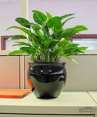 a tabletop maria plant in an office in lowell massachusetts