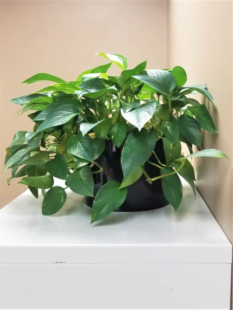 a cabinet top pothos plant in an office in quincy massachusetts