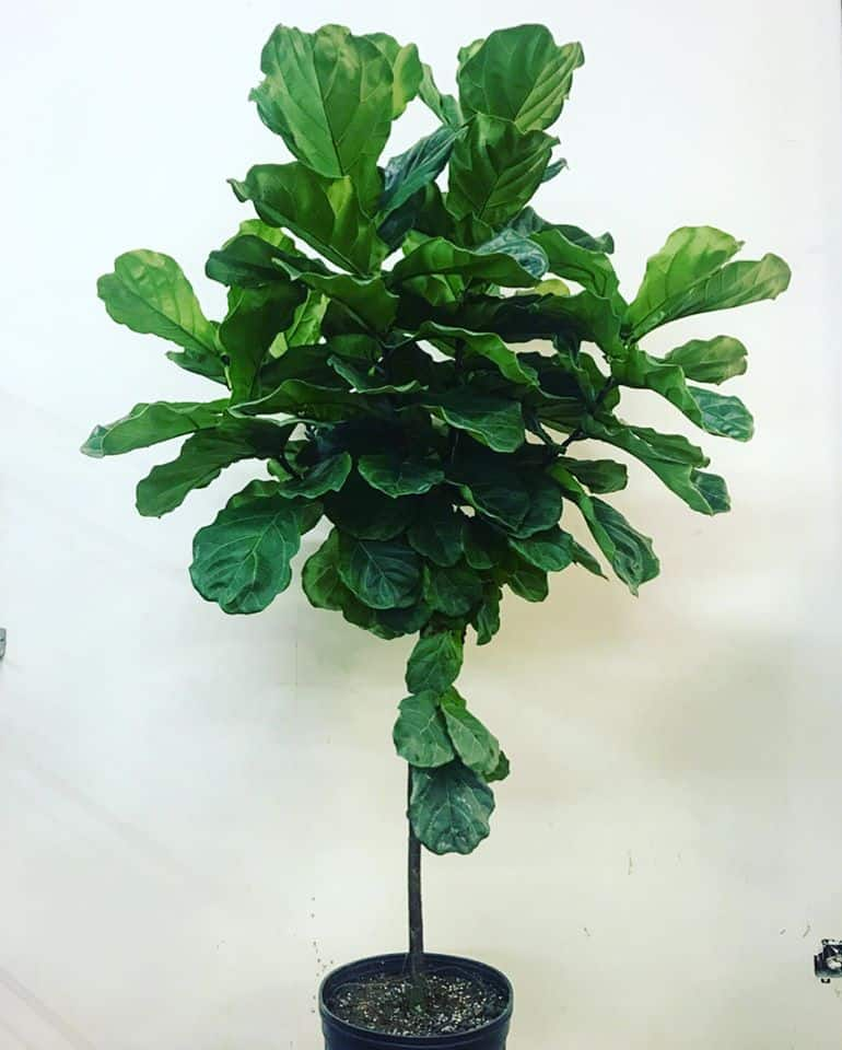 fig tree in office interior in natick massachusetts