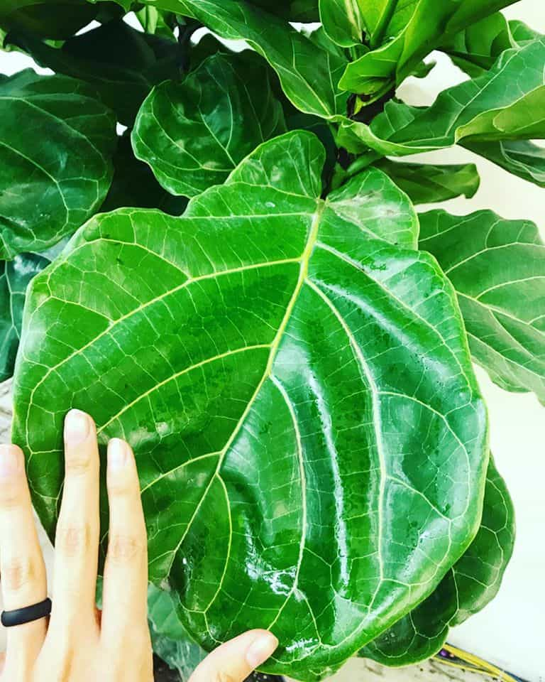 fig plant closeup