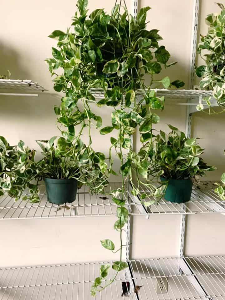 how to trim pothos interior plants