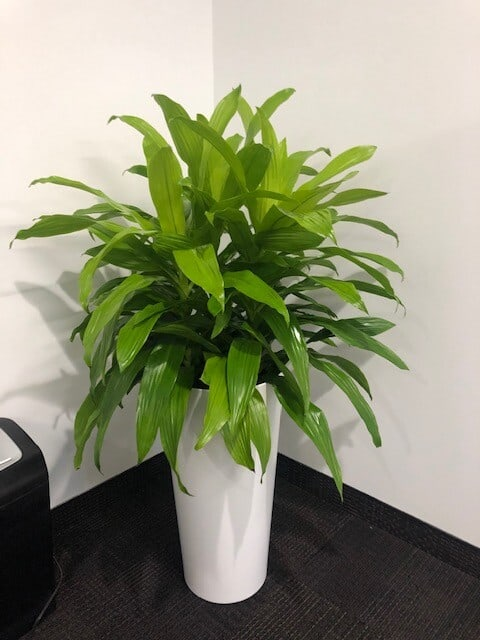 A limelight plant in a client office in Andover Massachusetts